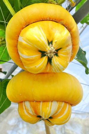 Bright yellow turban pumpkins grow on vines Stock Photo