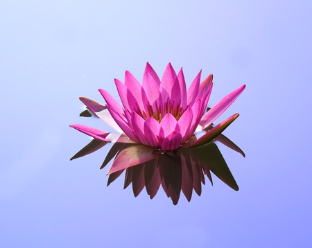 Beautiful lotus flower in full bloom with reflection in a quiet pond