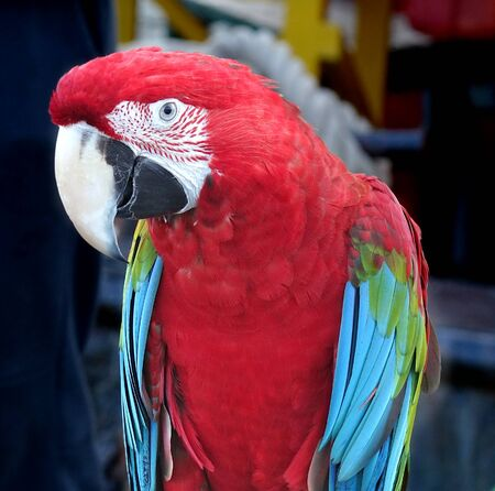 Closeup of scarlet macaw parrot with its characteristic large beak