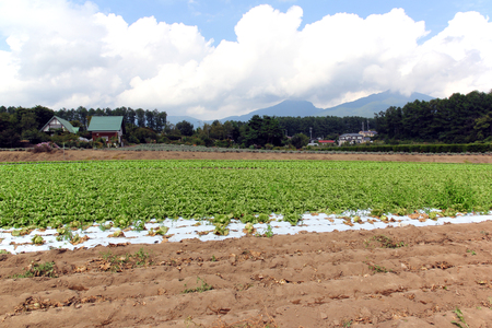 pesticide free: The field of lettuce