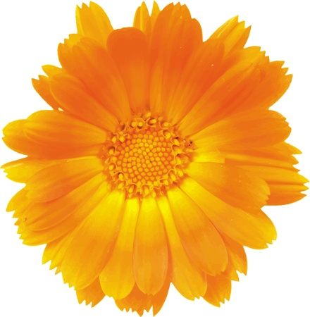 calendula: Flower of a calendula of orange color close up  Illustration