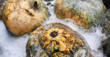 rotten orange pumpkin frozen into the ice in winter snow