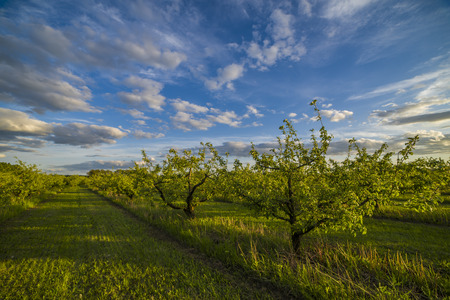 Nice and juicy apple orchard in the evening at sunset photo