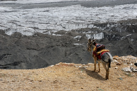 brink: Donkey staying on the edge rock above glacier in high mountains