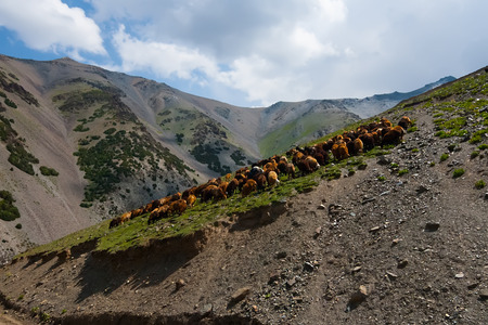 yeanling: Herd of sheep grazing on the slope high mountains