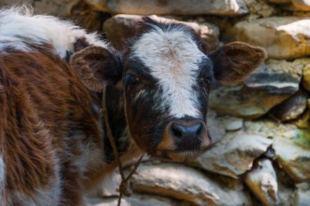 stonework: Portrait of bull calf on stonework background