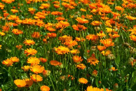 ox eye: Field of orange chamomiles. Summer nature background Stock Photo
