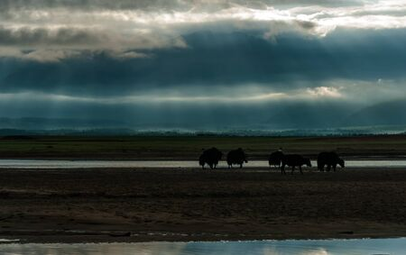 Silhouettes of mongolian yak walking by the sand and crossing the river in the sunset light. Rural summer scene.