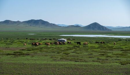 Herd of horses grazing on a meadow around the mongolian traditional ger.