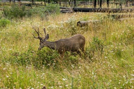 resting deer. deer eat a grass