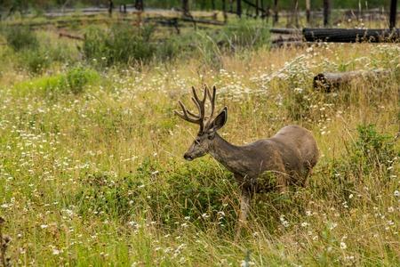 mule deer: resting deer. deer eat a grass