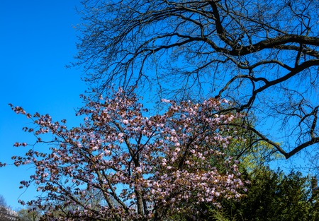 Panorama of Cherry blossom trees Alley in garden on a fresh green lawn at sunset. spring is coming