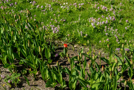 tulips bloom. green lawn in a beautiful park. spring is coming.