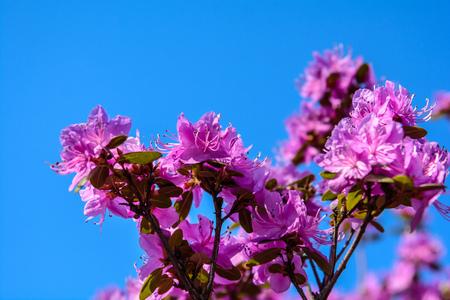 spring flowering of trees. beautiful blooming sakura. Cherry blossom flowers Stok Fotoğraf