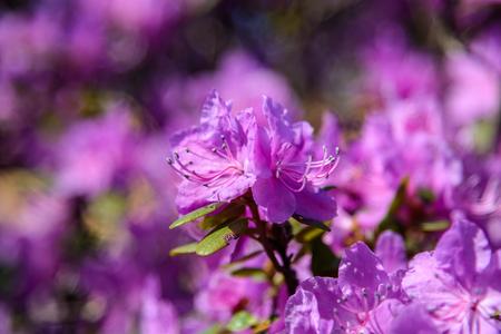 Cherry blossom flowers. beautiful blooming sakura Stok Fotoğraf