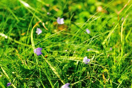 purple flowers on the background of green grass photo