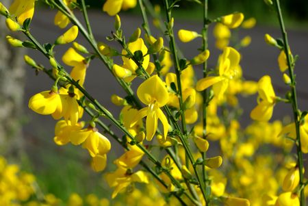 Yellow broom flowers stock photo picture and royalty free image stock photo yellow broom flowers mightylinksfo