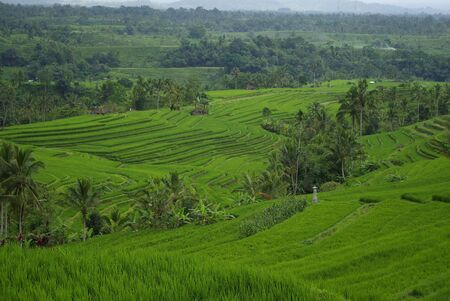 Rice fields and palm trees in the island of Bali photo