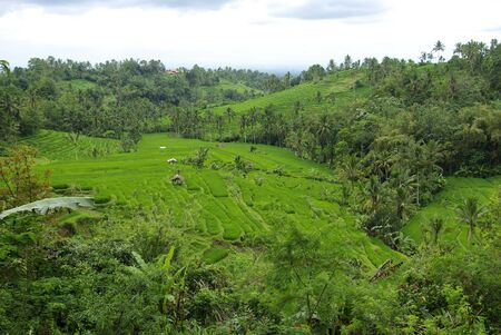 Rice fields and palm trees in the island of Bali Stock Photo - 6256316