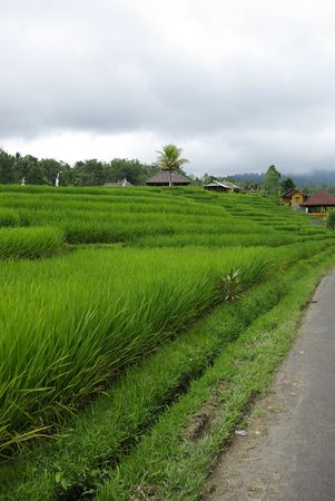ricefield: Ricefield and huts in Bali