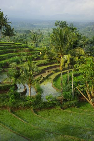 Watered ricefield with some coconut palm in Bali island photo