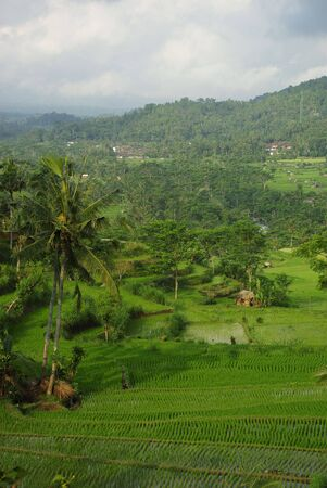 Landscape of young ricefield with some palm and a forest in the background in Bali photo