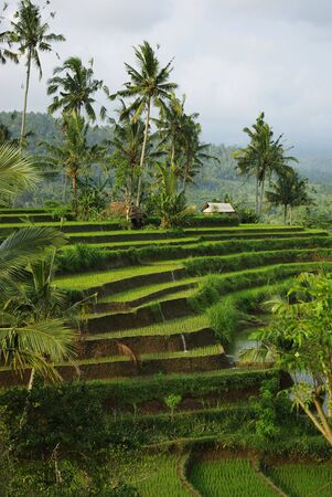 Young watered ricefield with some coconut palm and a little hut in Bali island