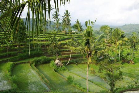 watered: Landscape of young watered ricefield with some coconut palm in Bali