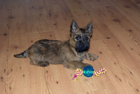 It's a young puppy on a wood floor with his blue toy Stock Photo - 6436960