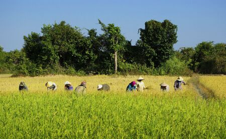 Women harvesting rice plant in a field in Vietnam Stock Photo