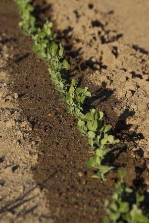 garden bean: Young bean shots in a garden after watering Stock Photo