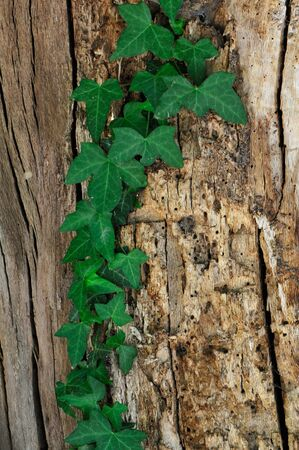 nervure: Green ivy clumbing on an old trunk