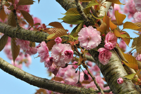 Pink Cherry Blossom along Branchs with a Blue Sky