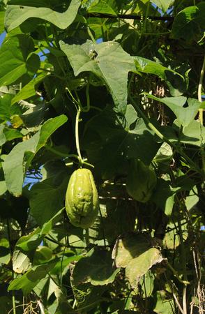 big leafs: Big Chayote Fruit with many Leafs in a Garden in Reunion Island
