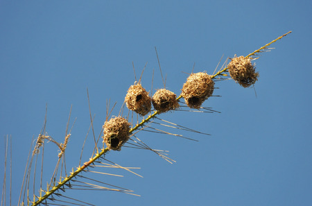 Nests of Aries in a weaver of Reunion Island Palm with blue sky