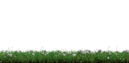 Strip of Wild Green Grass with many White Head Dandelions on a white background Stock Photo