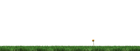 Strip of Well cut Green Grass with only One Yellow Dandelion on a white background