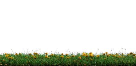Strip of Wild Green Grass with many Yellow Head Dandelions on a white background