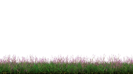 Strip of Wild Green Grass with many Little Purple Flowers on a white background