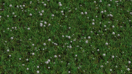 Up View of Field with wild grass and Lots of White Head Dandelions Stock Photo