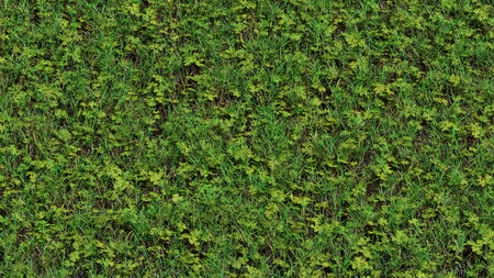 Up View of Field with thin wild grass and lots of clovers weed Stock Photo