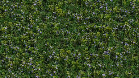 Up View of Field with wild grass and Lots of Lavender Speedwell flowers