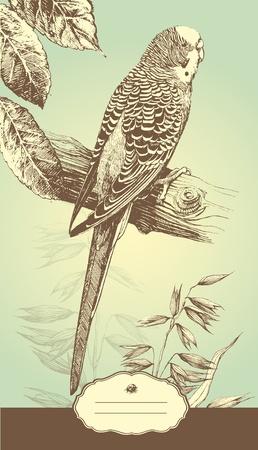 perico: Arte-ilustraci�n que representa el periquito australiano hechas a mano.