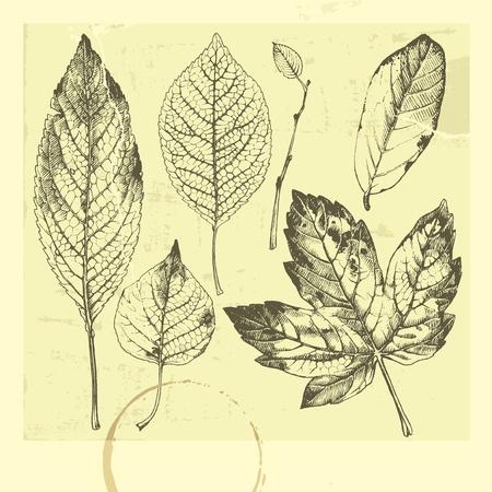 feuille arbre: Dessin�es � la main des feuilles. Feuilles d'automne. Jeu de feuilles. Jeu de feuilles dessin�es � la main.