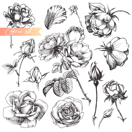 vase of flowers: Flower set: highly detailed hand drawn roses.