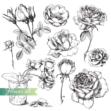 botanical drawing: Flower set: highly detailed hand drawn roses.