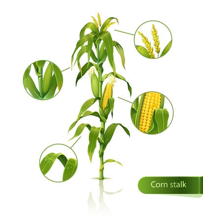 Encyclopedic illustration of corn stalk. Vector