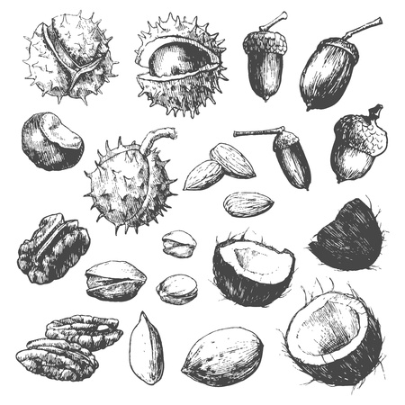 castaÑas: Manual muy detallado elaborado frutos secos aislados sobre fondo blanco.