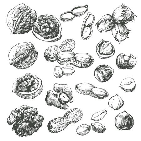 avellanas: Gran colección de la mano muy detallado elaborado frutos secos aislados sobre fondo blanco. Vectores