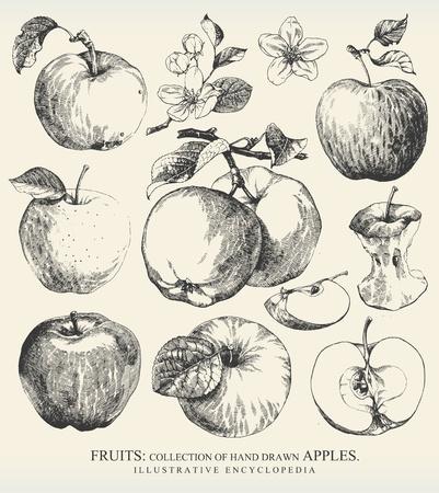 pomme: Collection de la main tr�s d�taill� �tabli pommes. Illustration